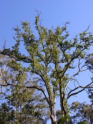 Angophora subvelutina - Blue Mountains National Park, Australia
