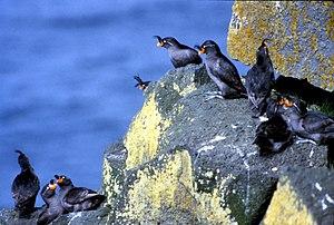 Crested auklet - Crested auklets on a cliffside
