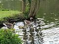 Anser anser with goslings - Orpington - 5.jpg