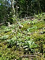 Antennaria dioica sl68.jpg