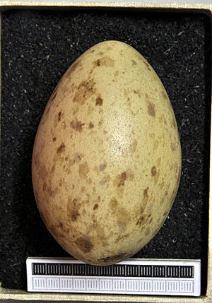 Demoiselle crane - Egg, Collection Museum Wiesbaden