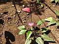 Anthurium andraeanum hybrids-7-tnau-yercaud-salem-India.jpg