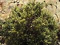 Anthyllis hermanniae 2 RF.jpg