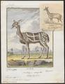 Antilope scripta - 1700-1880 - Print - Iconographia Zoologica - Special Collections University of Amsterdam - UBA01 IZ21400163.tif