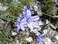 Aphyllanthes monspeliensis02.jpg