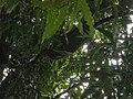 Apis honeycomb in Polyalthia.jpg