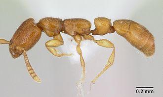 Amblyoponinae - Apomyrma stygia