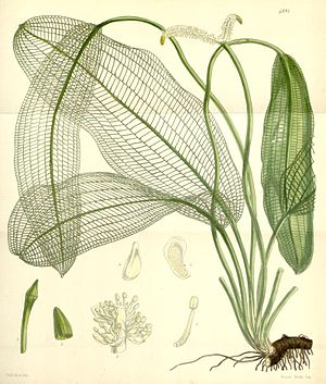 Gitterpflanze (Aponogeton madagascariensis), Illustration