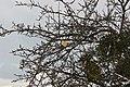 Apple tree near Beaumont in winter - panoramio.jpg