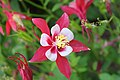 Aquilegia 'Origami Red and White' 2.JPG