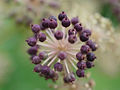 Aralia cordata, fruit 01.jpg