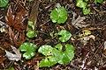 Aralia racemosa 6zz.jpg