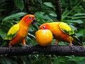 Aratinga solstitialis -Jurong Bird Park-6a.jpg