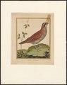 Arborophila - 1796-1799 - Print - Iconographia Zoologica - Special Collections University of Amsterdam - UBA01 IZAA100189.tif