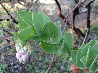 <i>Arctostaphylos refugioensis</i> species of plant