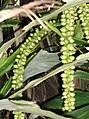 Arecales - Arenga undulatifolia - 7.jpg