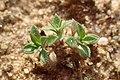 Arenaria serpyllifolia kz01.jpg
