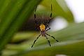 Argiope Appensa, female, Negros Occ., Philippines 8.jpg