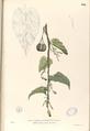 Aristolochia acuminata Blanco1.104-original.png