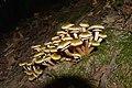 Armillaria mellea-DSC 0266.jpg