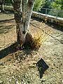 Armin Theophil Wegner tree.jpg