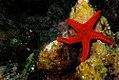 Armoured sea star, Fromia hemiopla.jpg