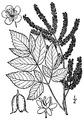 Aruncus dioicus (Walter) Fernald Bride's feathers.tiff