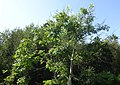 Ash tree with die back, Fairlie railway station, North Ayrshire.jpg