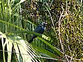 Asian Koel - Eudynamys scolopaceus - P1090242.jpg