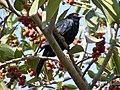 Asian Koel Eudynamys scolopaceus Male by Dr. Raju Kasambe (1).jpg