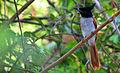 Asian Paradise-flycatcher (Terpsiphone paradisi ceylonensis).JPG