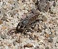 Asilidae Robber Fly (32228147430).jpg