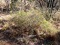 Asparagus laricinus, a, Waterberg.jpg