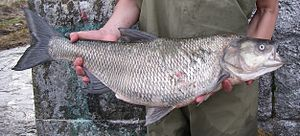 Asp (fish) - Image: Aspius aspius