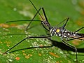 Assassin Bug (Reduviidae) close-up (15315098489).jpg