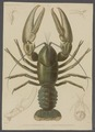 Astacus madagascariensis - - Print - Iconographia Zoologica - Special Collections University of Amsterdam - UBAINV0274 097 01 0013.tif