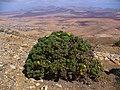 Asteriscus sericeus - Fuerteventura 1.JPG