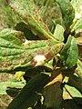 Asteromyia carbonifera gall.jpg