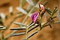 Astragalus ceramicus var. ceramicus - Flickr - aspidoscelis (3).jpg