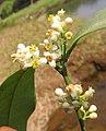 Atalantia racemosa 10.jpg