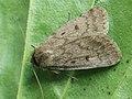 Athetis palustris - Marsh moth - Совка болотная (39308978250).jpg