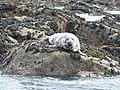 Atlantic Grey Seal - geograph.org.uk - 2379749.jpg