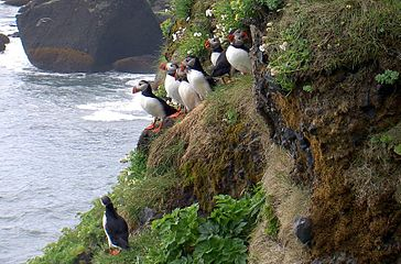 Atlantic Puffin Iceland.JPG