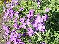 Aubrieta libanotica kz01.jpg