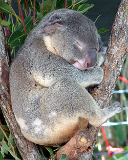 Karmic Koala; Autor: Guillaume Blanchard (Fujifilm S6900, March 2003)