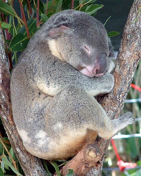 Fájl:Australia Cairns Koala.jpg