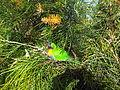 Australian Rainbow Lorikeet ewenm.jpg