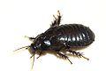 Australian Wood Cockroach 07.jpg