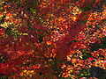 Autumn Leaves, 2015-10-10, 02.jpg
