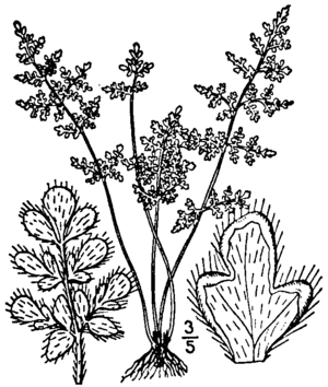 Cheilanthes feei - Cheilanthes feei